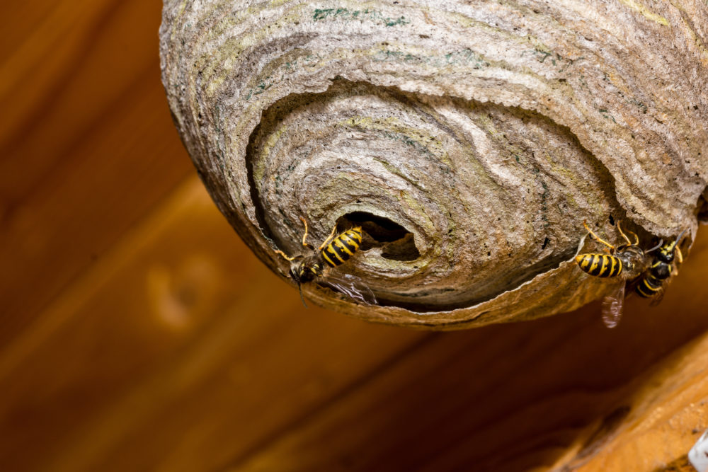 Wespennest an der Holzfassade entdeckt? Bloß keine Panik!